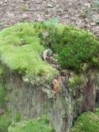 souche retravaillée avec de la mousse... mais le chêne est d'origine !